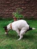 Σκυλί επίστεγων σε πράσινο στοκ εικόνες