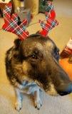 Σκυλί ελαφόκερων με τη μεγάλη μύτη Στοκ φωτογραφία με δικαίωμα ελεύθερης χρήσης