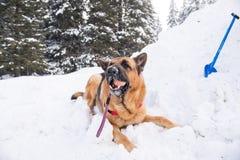 Σκυλί διάσωσης στην υπηρεσία διάσωσης βουνών Στοκ Φωτογραφίες