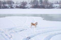 Σκυλί ιαπωνικό Akita στις όχθεις του παγωμένου ποταμού το χειμώνα Στοκ εικόνες με δικαίωμα ελεύθερης χρήσης