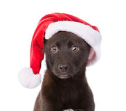 Σκυλί διασταύρωσης κινηματογραφήσεων σε πρώτο πλάνο με το κόκκινο καπέλο η ανασκόπηση απομόνωσε το λευκό Στοκ εικόνα με δικαίωμα ελεύθερης χρήσης