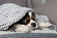 Σκυλί κάτω από το κάλυμμα Στοκ Εικόνες
