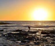 Σκυλί και η θάλασσα στη Λα Χόγια, Καλιφόρνια Στοκ φωτογραφία με δικαίωμα ελεύθερης χρήσης