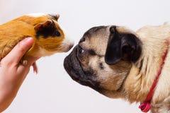 Σκυλί και ινδικό χοιρίδιο στοκ φωτογραφία