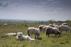 Σκυλί και πρόβατα Στοκ φωτογραφία με δικαίωμα ελεύθερης χρήσης
