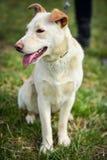 Σκυλί καταφυγίων Στοκ Εικόνες