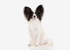 Σκυλί Κουτάβι Papillon σε ένα άσπρο υπόβαθρο Στοκ εικόνες με δικαίωμα ελεύθερης χρήσης