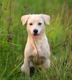 Σκυλί κουταβιών στη χλόη λιβαδιών στοκ φωτογραφίες