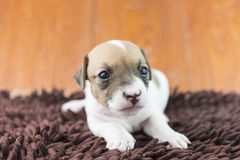 Σκυλί κουταβιών του Jack russel στο ύφασμα και το καπέλο Στοκ φωτογραφία με δικαίωμα ελεύθερης χρήσης