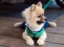 Σκυλί κουταβιών. Στοκ Φωτογραφία