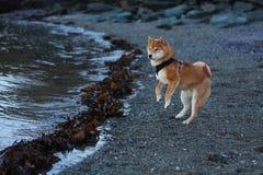 Σκυλί κουταβιών inu Shiba στην παραλία στη Νορβηγία Στοκ φωτογραφία με δικαίωμα ελεύθερης χρήσης