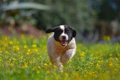Σκυλί κουταβιών landseer Στοκ Εικόνα