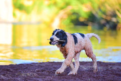 Σκυλί κουταβιών landseer Στοκ Φωτογραφία