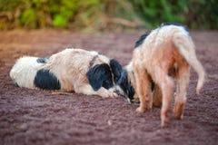Σκυλί κουταβιών landseer Στοκ Εικόνες