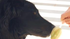 σκυλί κρέμας που τρώει το φιλμ μικρού μήκους