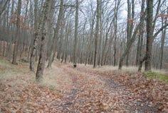 Σκυλί κυνηγιού σπανιέλ που τρέχει στο δάσος φθινοπώρου Στοκ φωτογραφίες με δικαίωμα ελεύθερης χρήσης