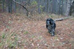 Σκυλί κυνηγιού σπανιέλ που τρέχει στο δάσος φθινοπώρου Στοκ εικόνες με δικαίωμα ελεύθερης χρήσης