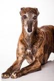 Σκυλί κυνηγόσκυλων Στοκ εικόνες με δικαίωμα ελεύθερης χρήσης