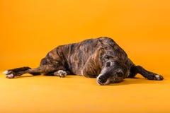 Σκυλί κυνηγόσκυλων Στοκ Φωτογραφίες