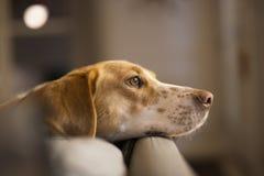 Σκυλί κυνηγόσκυλων Στοκ εικόνα με δικαίωμα ελεύθερης χρήσης