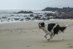 Σκυλί κόλλεϊ οικότροφων Στοκ φωτογραφία με δικαίωμα ελεύθερης χρήσης