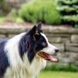 Σκυλί, κόλλεϊ συνόρων, πορτρέτο της ύπαρξης ευτυχής Στοκ Εικόνα