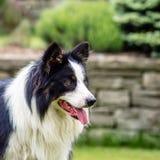 Σκυλί, κόλλεϊ συνόρων, πορτρέτο της ύπαρξης ευτυχής Στοκ εικόνες με δικαίωμα ελεύθερης χρήσης