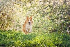 Σκυλί κόλλεϊ συνόρων που τρέχει την άνοιξη Στοκ Εικόνες