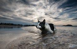 Σκυλί κόλλεϊ συνόρων Στοκ εικόνες με δικαίωμα ελεύθερης χρήσης