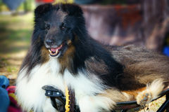 Σκυλί κόλλεϊ Στοκ Εικόνες