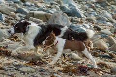 Σκυλί κόλλεϊ Στοκ εικόνες με δικαίωμα ελεύθερης χρήσης