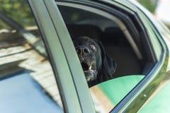 Σκυλί Λαμπραντόρ που περιμένει έναν γύρο Στοκ Φωτογραφίες