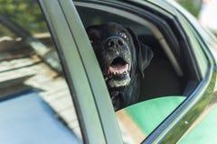 Σκυλί Λαμπραντόρ που περιμένει έναν γύρο Στοκ φωτογραφία με δικαίωμα ελεύθερης χρήσης