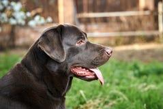 Σκυλί, Λαμπραντόρ στο κατώφλι, κατοικίδια ζώα, ζώα Στοκ Εικόνες