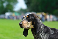 Σκυλί. Μεγάλο μπλε Gascon στοκ εικόνα με δικαίωμα ελεύθερης χρήσης