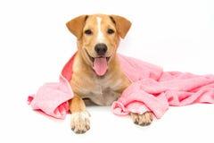 σκυλί μετά από το λουτρό μια ρόδινη πετσέτα που απομονώνεται με Στοκ Φωτογραφίες