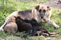 Σκυλί με τα κουτάβια 2 Στοκ φωτογραφία με δικαίωμα ελεύθερης χρήσης