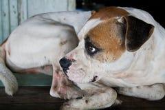 Σκυλί με τα λυπημένα μάτια Στοκ Φωτογραφίες