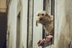 Σκυλί με την ανθρώπινη παραίσθηση χεριών Στοκ εικόνα με δικαίωμα ελεύθερης χρήσης