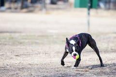 Σκυλί με τη σφαίρα Στοκ Εικόνες