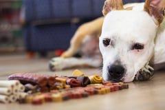 Σκυλί με τις απολαύσεις Στοκ Εικόνες