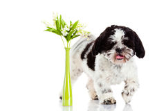 Σκυλί με τον κρίνο της κοιλάδας που απομονώνεται στο άσπρο υπόβαθρο άνοιξη άνοιξη Στοκ Φωτογραφία