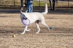 Σκυλί με το δίσκο Στοκ εικόνες με δικαίωμα ελεύθερης χρήσης