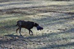 Σκυλί με το παιχνίδι Στοκ φωτογραφία με δικαίωμα ελεύθερης χρήσης