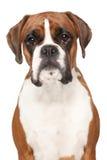 Σκυλί μπόξερ στο απομονωμένο άσπρο υπόβαθρο Στοκ Εικόνες