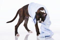 Σκυλί μπόξερ στο στούντιο Στοκ Εικόνες