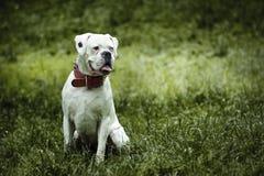 Σκυλί - μπόξερ Στοκ εικόνες με δικαίωμα ελεύθερης χρήσης