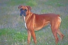 σκυλί μπόξερ στοκ φωτογραφία