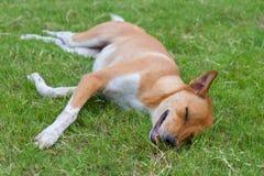 σκυλί νυσταλέο Στοκ Φωτογραφίες