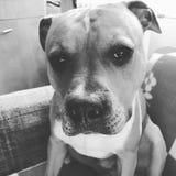 σκυλί νυσταλέο στοκ εικόνα με δικαίωμα ελεύθερης χρήσης